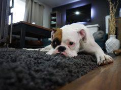 Malattie delle zecche cane malato