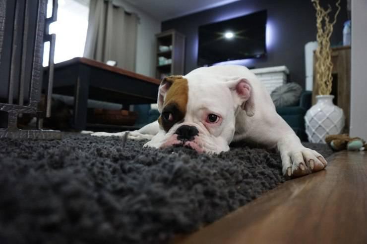 cane malato