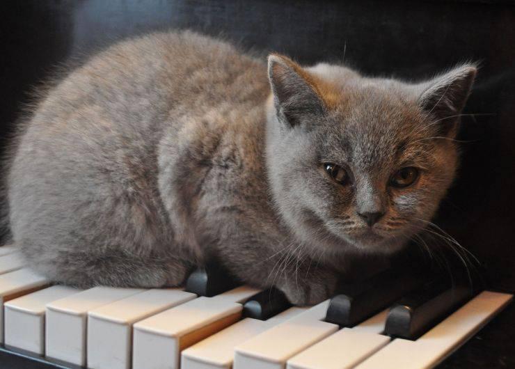 gatto sul pianoforte