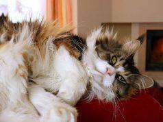 gatto salta sui mobili