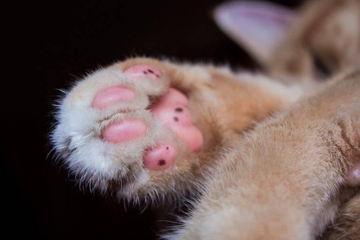 zampa gatto lesioni