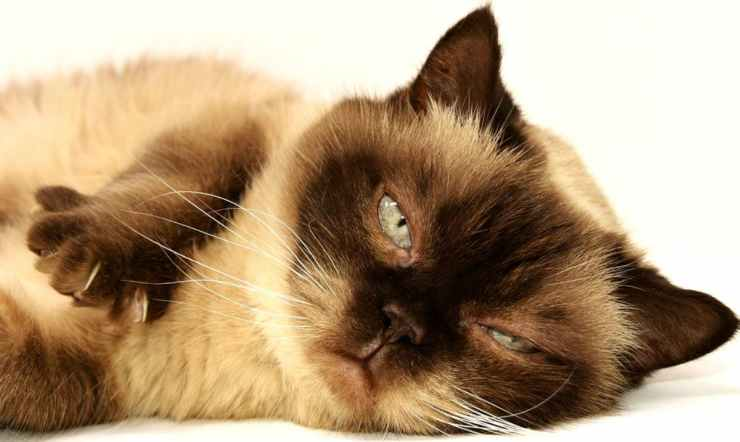 Gatto che ha bisogno di attenzioni (Foto Pixabay)