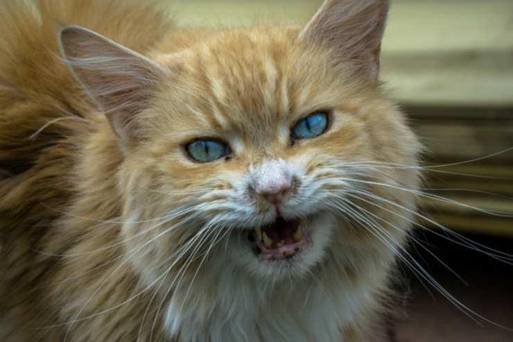 La rabbia del gatto (Foto Pixabay)