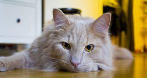 gatto perde pelo stress