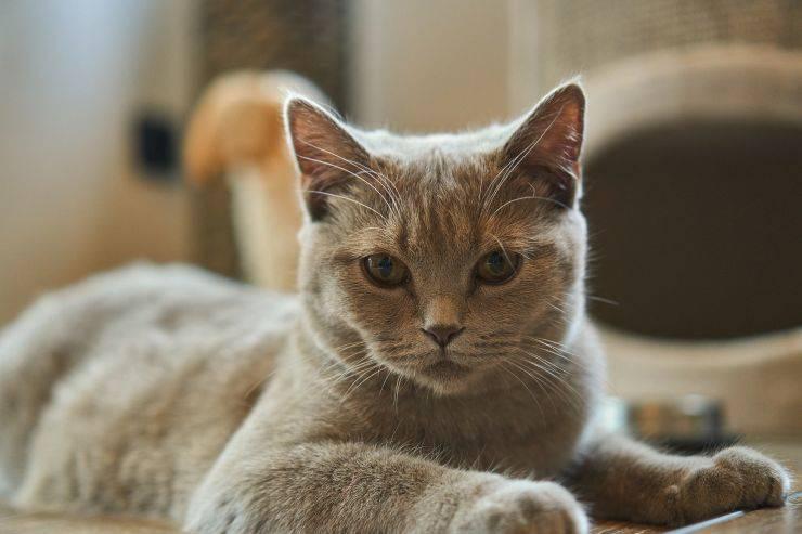 gatto perde troppo pelo