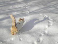 Il gatto che cammina nella neve (Foto Pixabay)