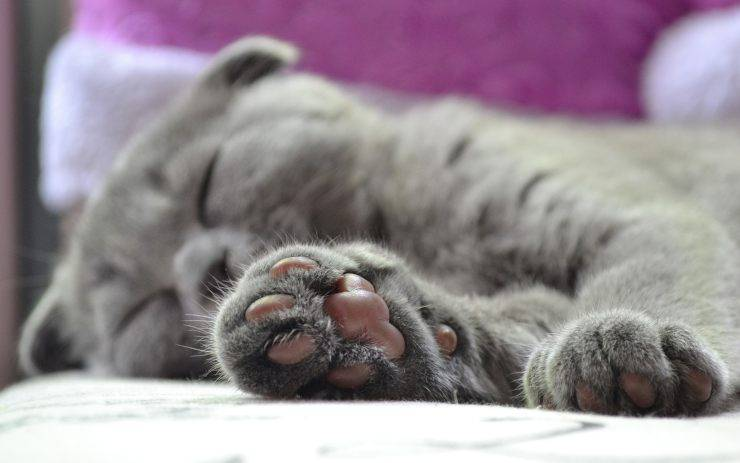 ferita cuscinetto gatto