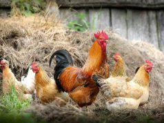 Allevamento di polli