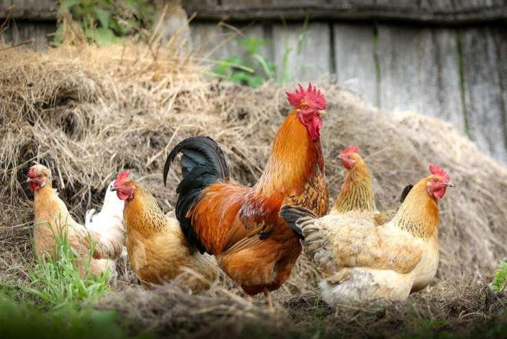 polli allevamento intelligenza