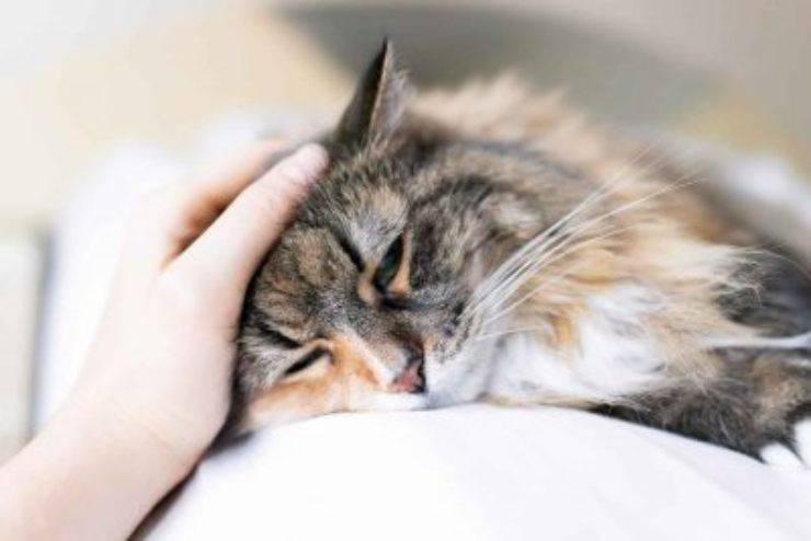 colesterolo alto nel gatto