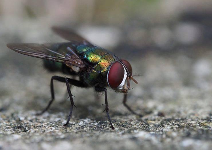 occhi mosca