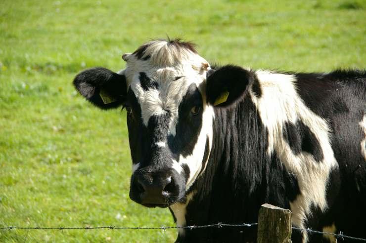 Mucca animale intelligente (Foto Pixabay)