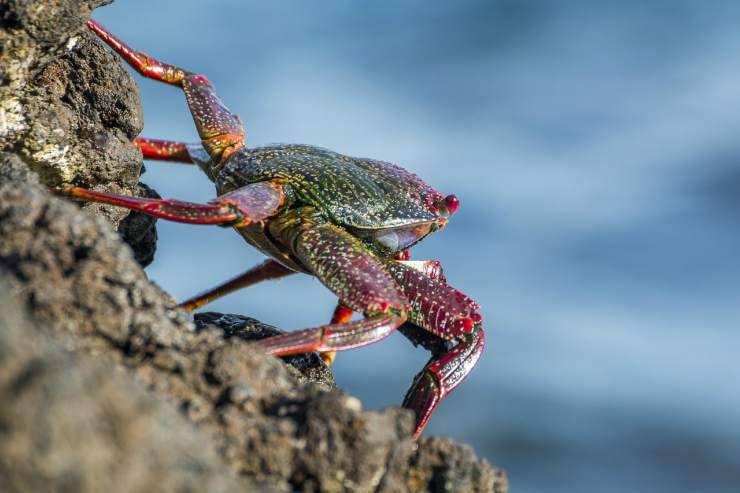 granchio sulla roccia (Foto pixabay)