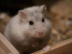 riconoscere le malattie del criceto