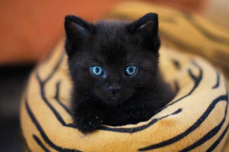 Gattino nero con gli occhi chiari (Foto Pixabay)