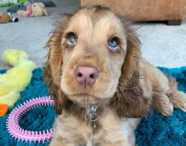 Cocker Spaniel, tanta dolcezza in una foto (Foto Instagram)