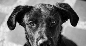 Cane nero (Foto Pixabay)