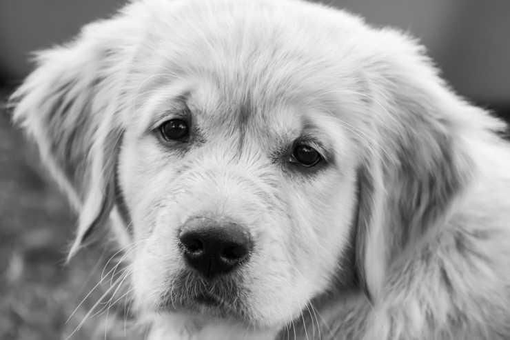 Espressione di tristezza nel volto del cane (Foto Pixabay)