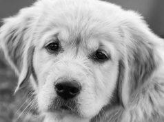 Cane bianco triste (Foto Pixabay)