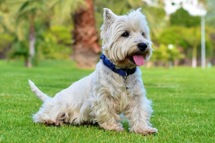 La vivace cagnolina (Foto Pixabay)