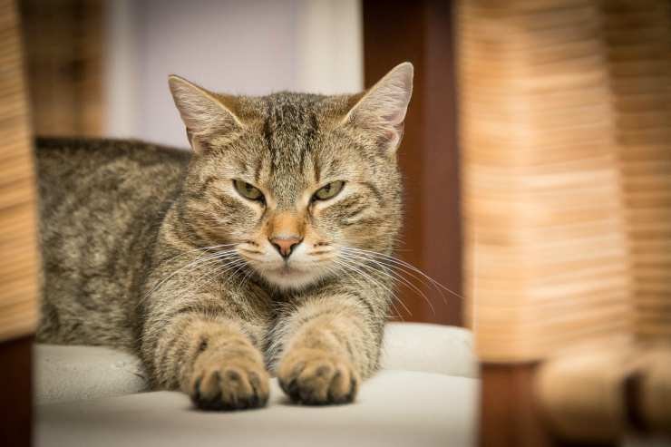 Gatto furioso (Foto Pixabay)