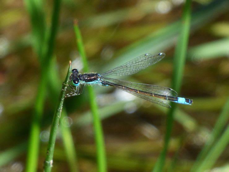 La libellula che evita i rapporti