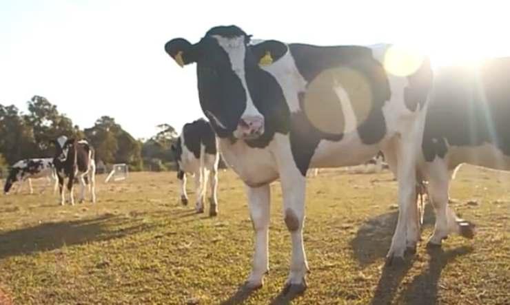 Il linguaggio delle mucche (Foto video You Tube)