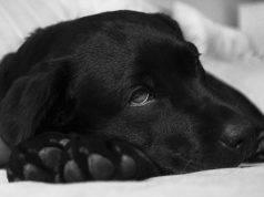 febbre q nel cane
