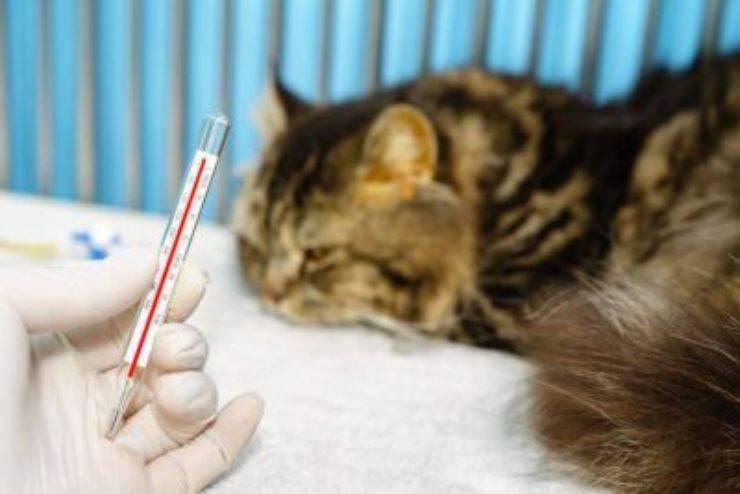 coronavirus nel gatto