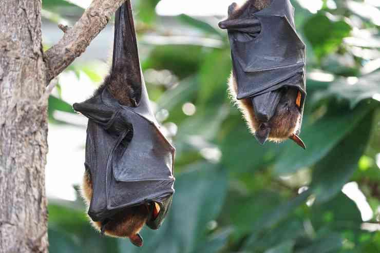 pipistrelli a testa in giù (Foto Pixabay)