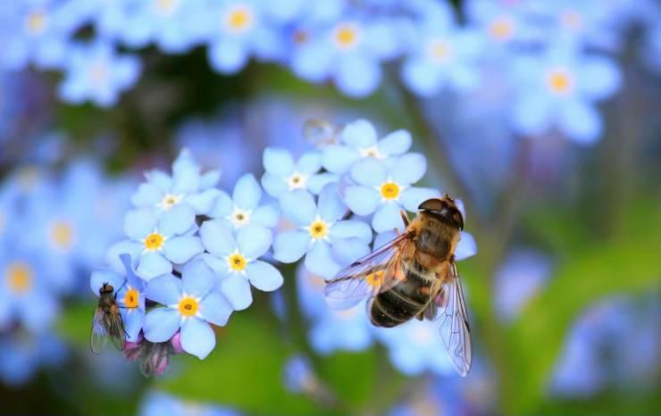 La bellezza dell'ape sul fiore (Foto Pixabay)