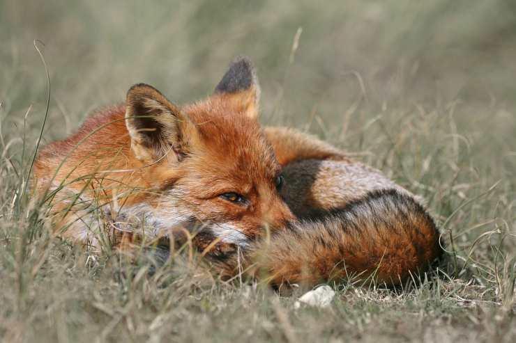 La volpe che si nasconde (Foto Pixabay)