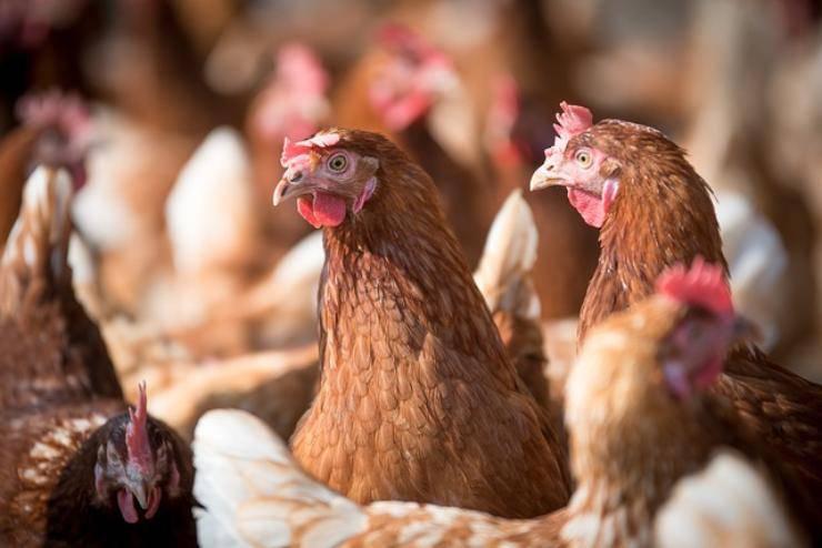 furti galline