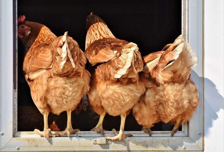 malattie respiratorie delle galline