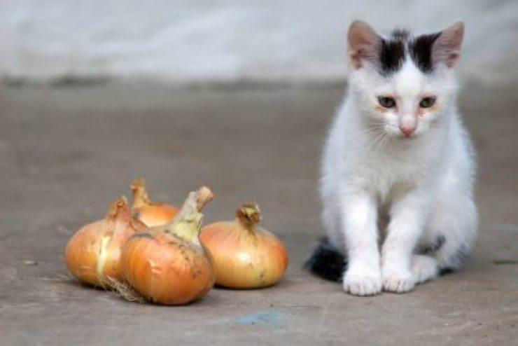 gatto cipolla