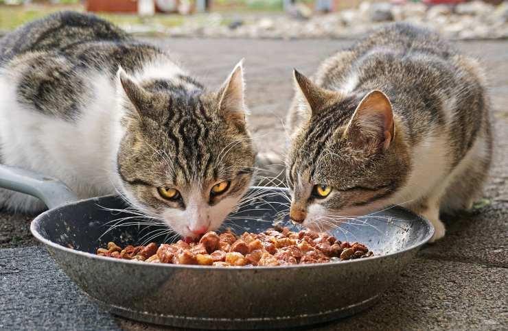 gatti e ciotola