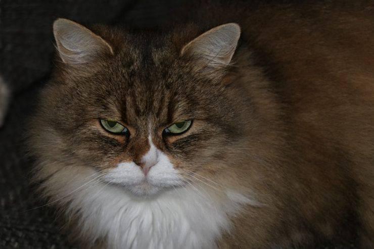 gatto vi odia