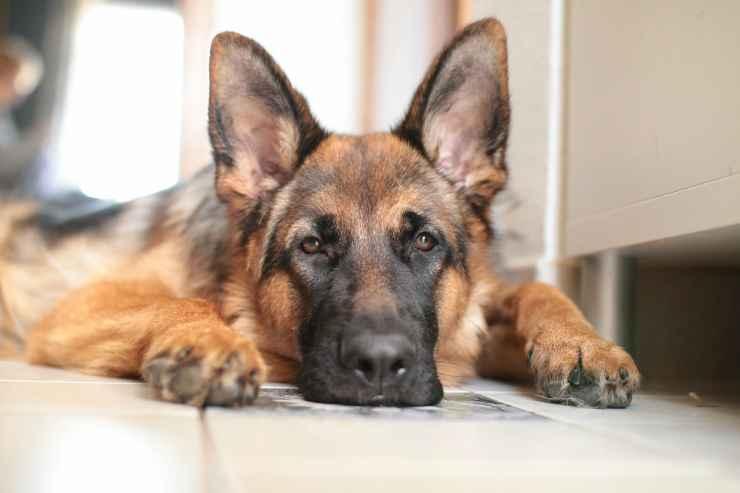 cane malinconico (Foto Pixabay)
