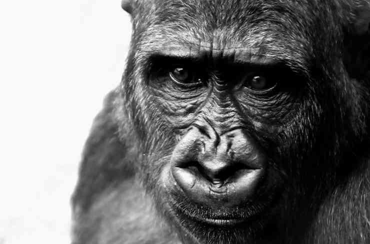 Gorilla triste (Foto Pixabay)