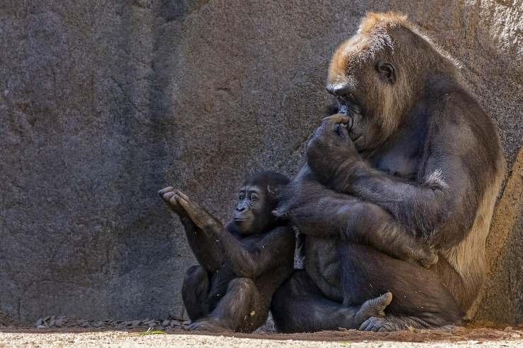 gorilla e cucciolo