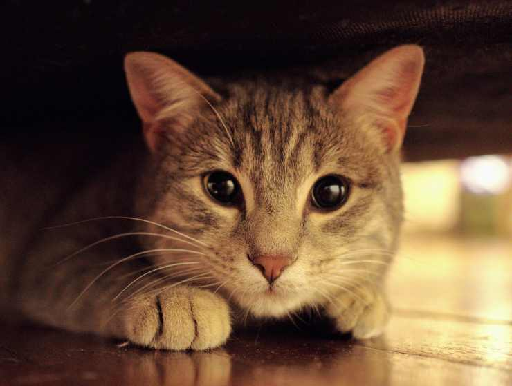 Lo sguardo dolce della gattina (Foto Pixabay)
