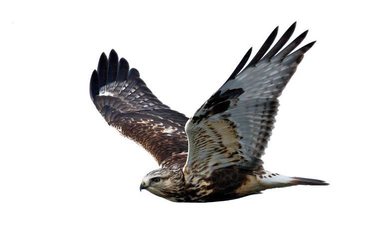 Oroscopo pellerossa segno zodiacale animale falco