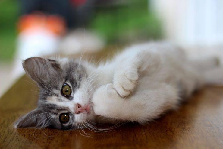 falsi miti gatti