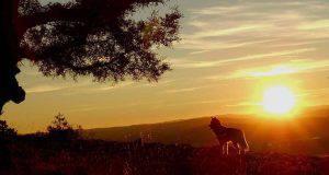 Husky che osserva il paesaggio (Foto Pixabay)