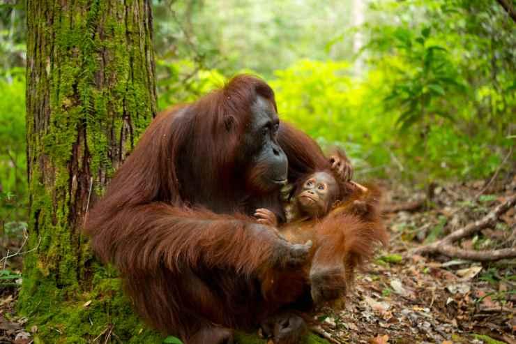 Orango e il suo cucciolo (Foto istock)
