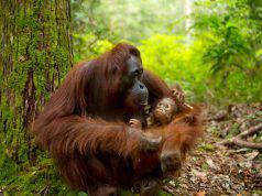 Mamma orango (Foto Istock)