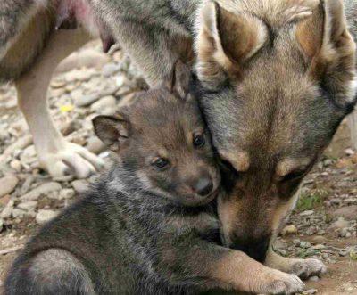 cuccioli lupo gioco uomo