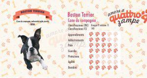 boston terrier scheda razza