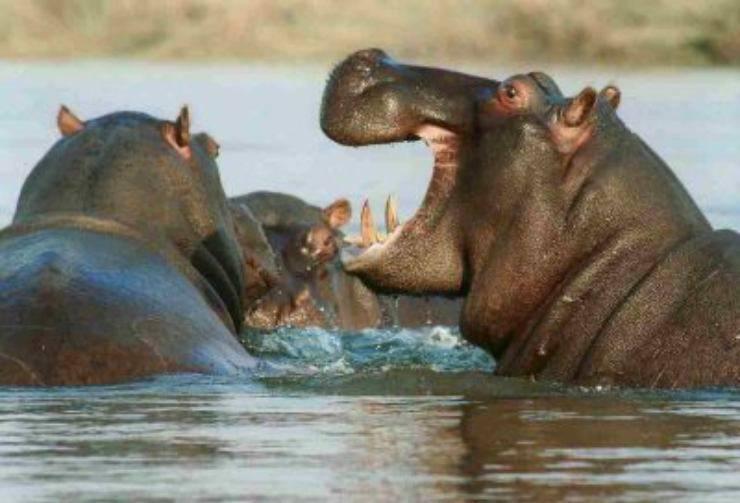 curiosita sugli ippopotami