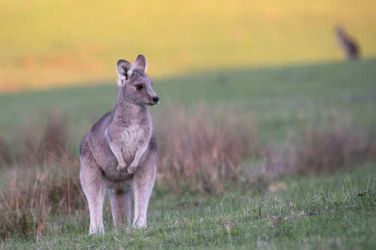 Tutta la dolcezza del canguro (Foto Pixabay)